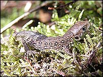 Sand lizard (picture courtesy of the Herpetological Conservation Trust)