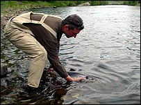 Salmon being returned to river