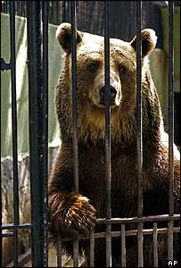 Brown bear in Bucharest zoo