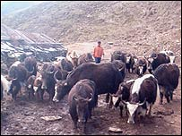 Yak farmer with his animals