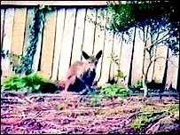 'wallaby' pic