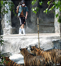 Worker at Sriracha zoo disinfecting tiger runs (19/10/04)