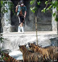 Worker at Sriracha zoo disinfecting tiger runs (19/10/04)