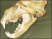 Jaw of the lion