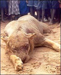 Slain lion