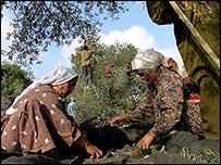 Members of the Abdul Rahman family harvest olives (photo by Alon Farago)