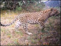 The Georgian leopard, Nacres