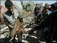 A Palestinian youth holds an injured racoon after pulling it from the rubble of the destroyed Rafah zoo