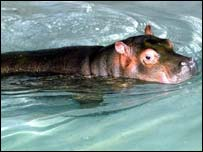 Baby hippo swimming, PA