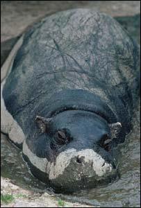 Hippo in the mud, BBC