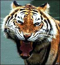 A Bengali tiger at Sriracha zoo