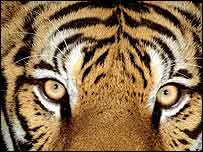 Tiger close-up   WWF-Canon/Martin Harvey