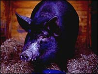 Black pig, BBC