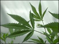 Cannabis plant (BBC)