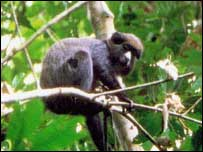 Putty nosed monkey
