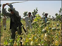 Afghan poppy destruction