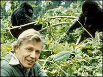David Attenborough with gorillas on location in the BBCs Life on Earth in 1979