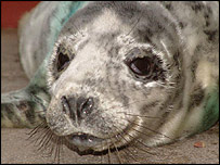 Seal pup - Picture: Elaine Roft/BDMLR