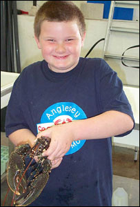 Lobster being handled - picture courtesy of Anglesey Sea Zoo