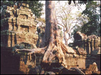 Tree growing over ruins  in Angkor