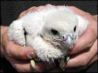 One of the two peregrine falcon chicks
