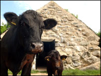 Cow byre and Welsh Blacks