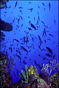 Fish in the Saba Marine Park, Caribbean    Callum Roberts