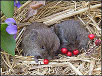 Meadow voles, Emory