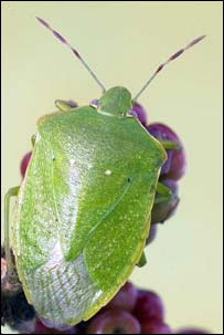 Green vegetable bug, NHM