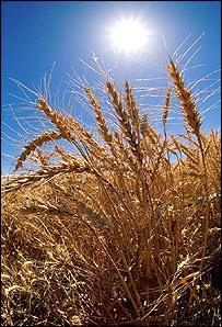 Wheat   Eyewire