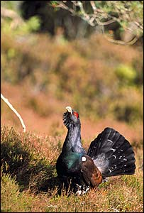 Capercaillie - Chris Gomersall/RSPB Images