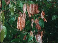 Diseased cocoa leaves, Aberystwyth University