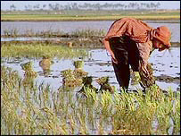 Worker in a paddy field, BBC