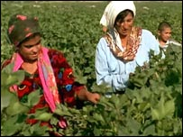 Cotton production, Ifas