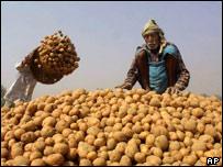 A villager shifts through a hill of potatoes