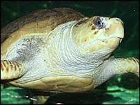 Loggerhead turtle (generic)