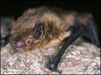 Soprano Pipistrelle bat(picture The Bat Conservation Trust)