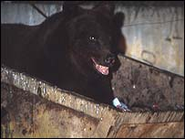 Bear in skip, BBC