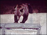Bear raids a skip, BBC