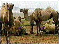 Kazakh camels