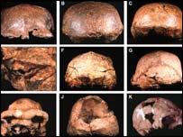 Several hominid skulls, copyright Jeffrey Schwartz.
