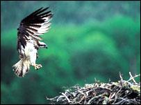 osprey (RSPB)