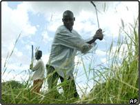 Grass cutters in Malawi