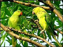 Parakeets in King George Park in Ramsgate