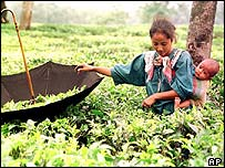 Tea leaves picker