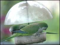 Miami parrots