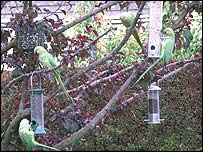 Richmond parrots