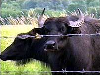 The water buffalo at Rye Meads Nature Reserve