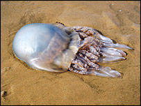 Barrel jellyfish on beach