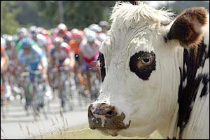 A cow watches the procession
